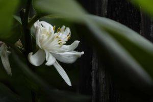 Citrom virág